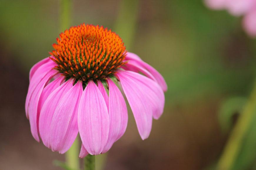 10-Echinacea