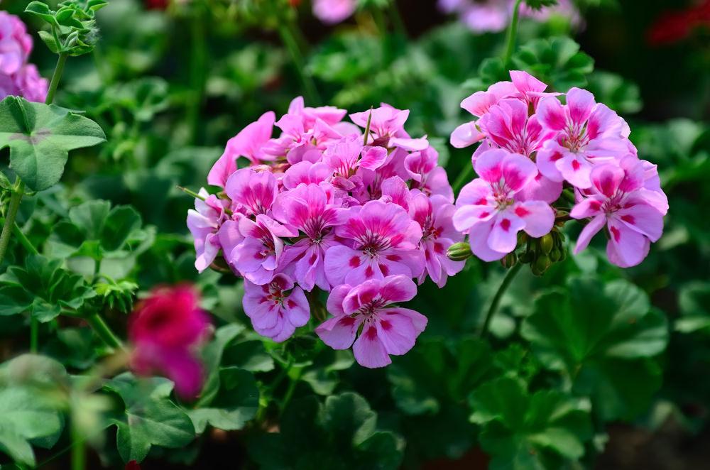 11-geranium_pelargonium