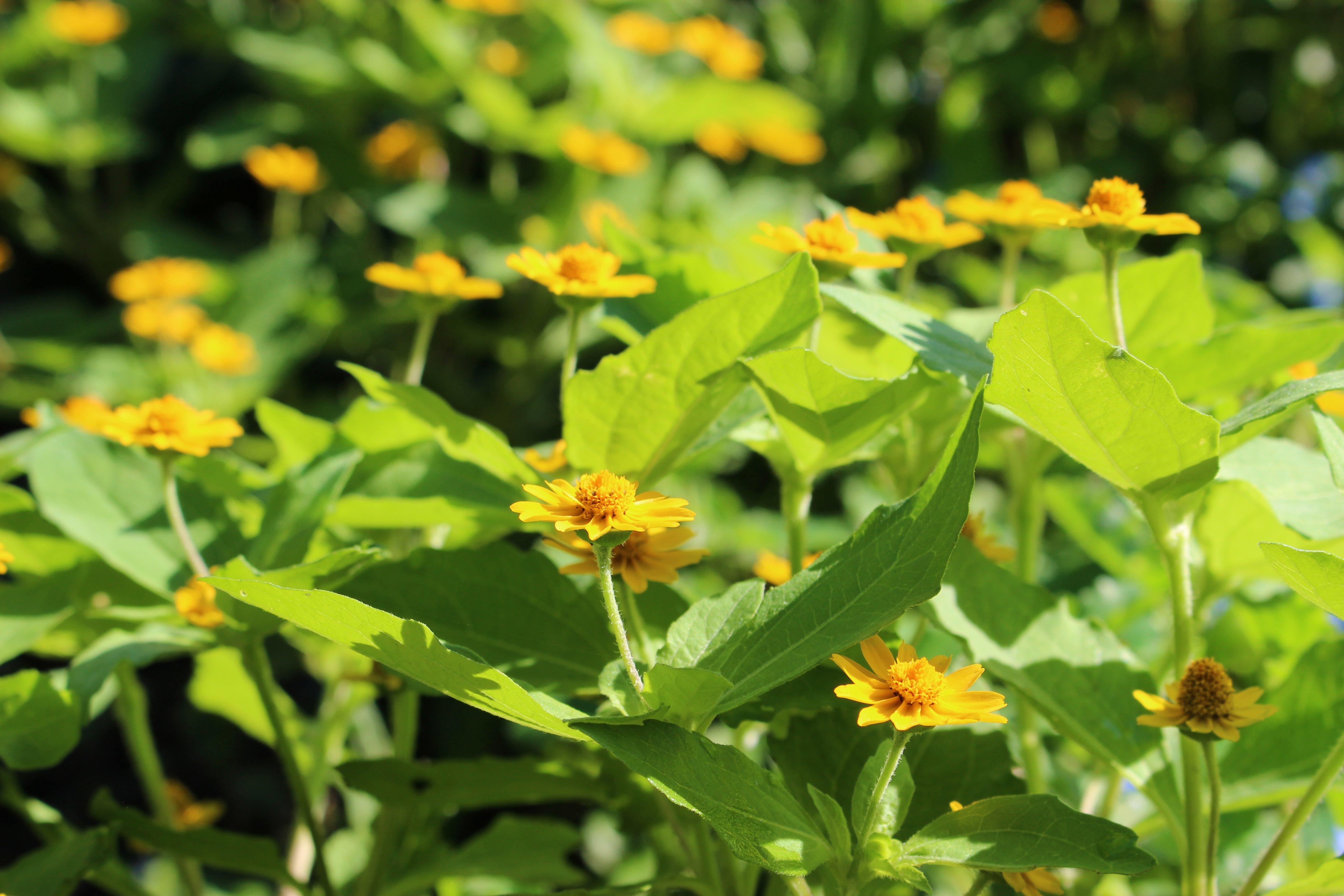 11. Butter daisy (Melampodium paludosum)
