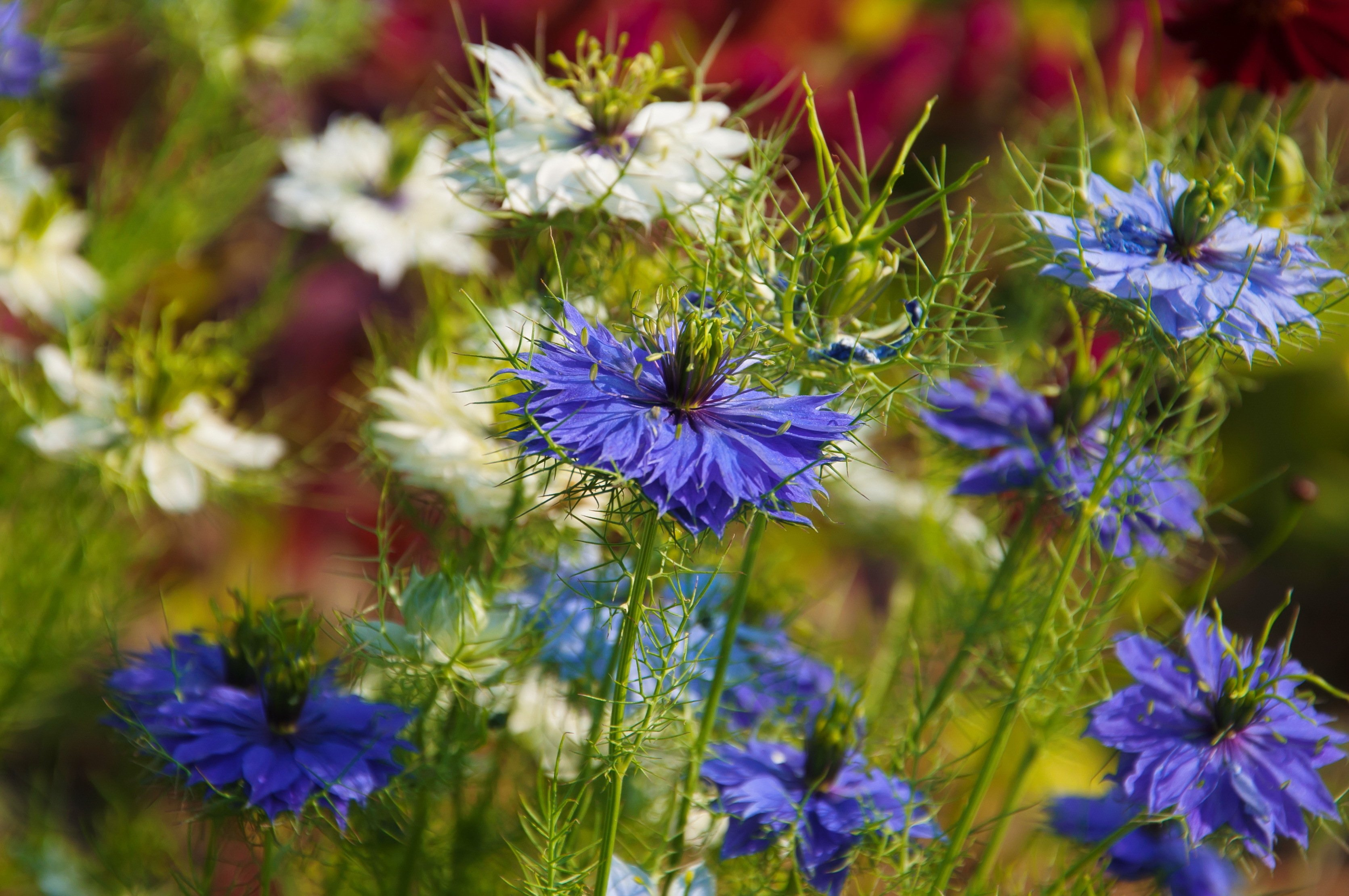 13 Love-in-a-mist (Nigella damascene)