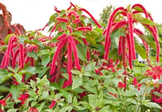 Love lies bleeding (Amaranthus caudatus)