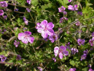 Geranium (Geranium Albanum)