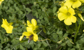 Yellow wood sorrel (Oxalis stricta)
