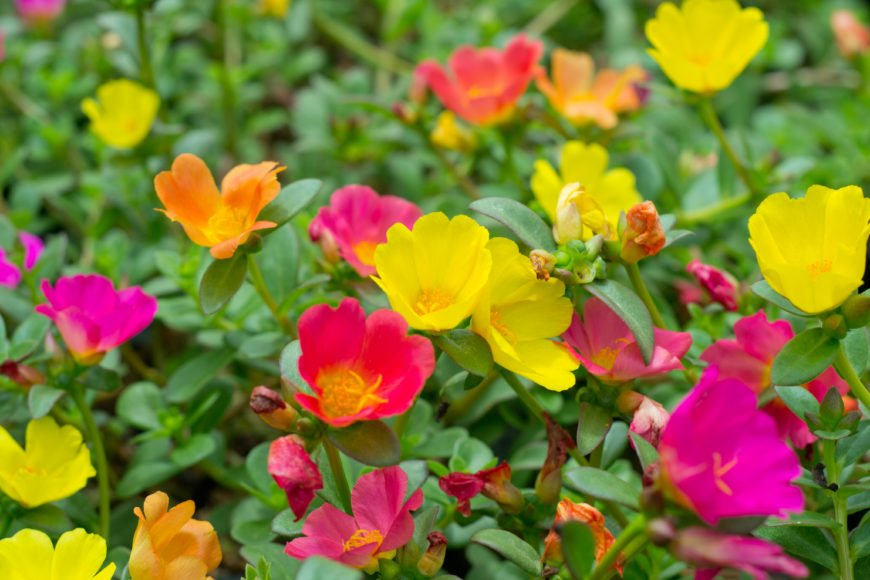17 Moss Rose (Portulaca grandiflora)