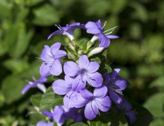 Bush Violet (Browallia speciosa)
