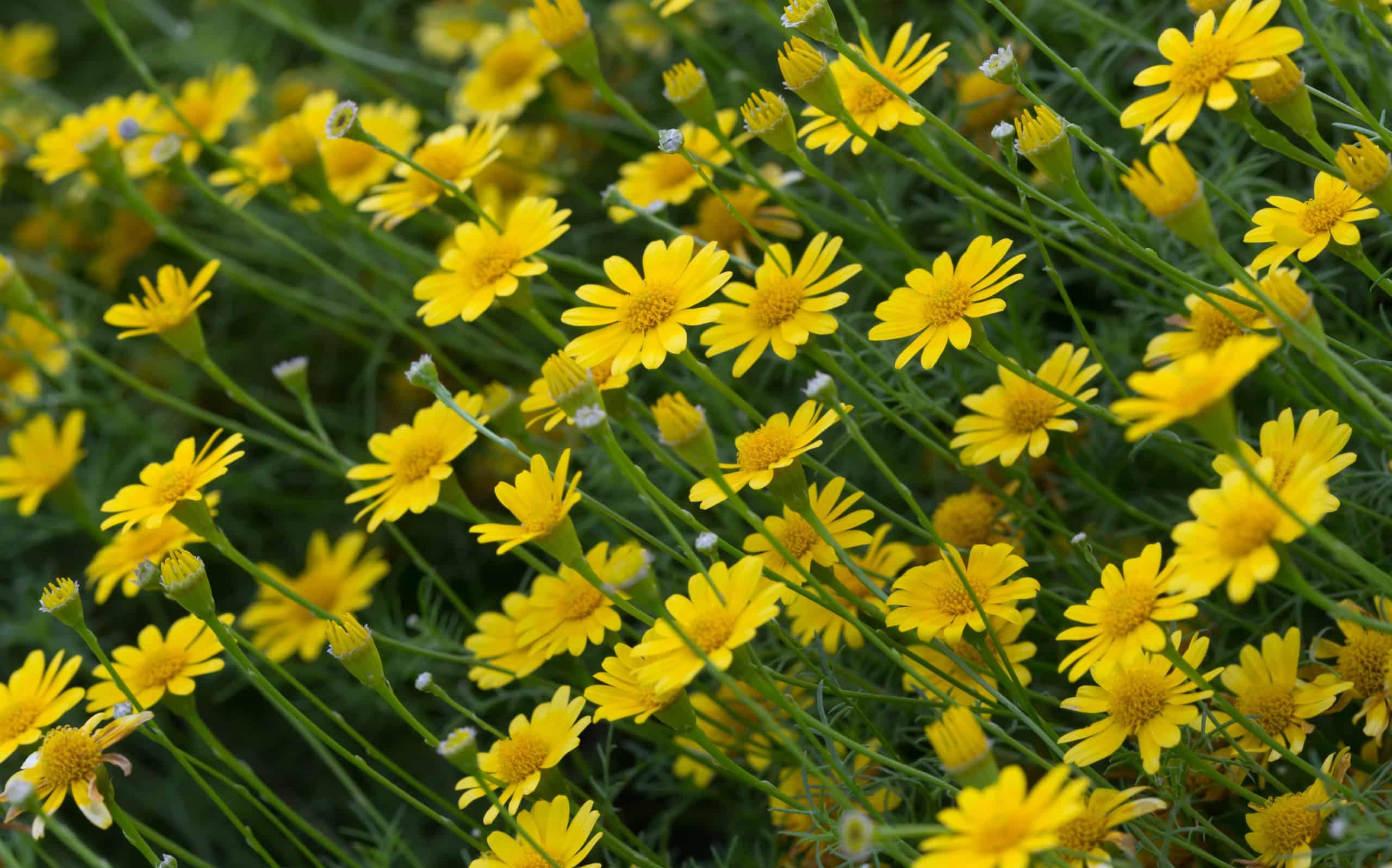 19 Dahlberg Daisy (Thymophylla tenuiloba)