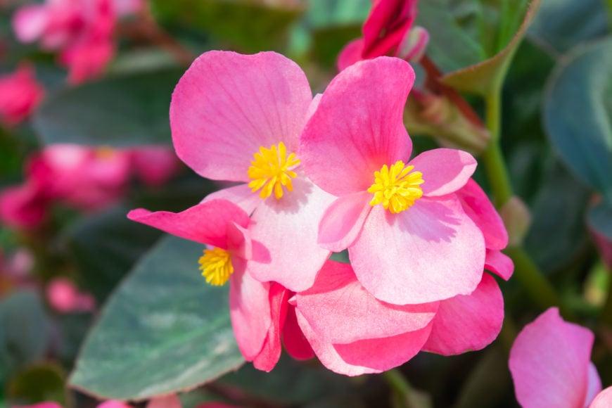 19 Wax Begonia_annual