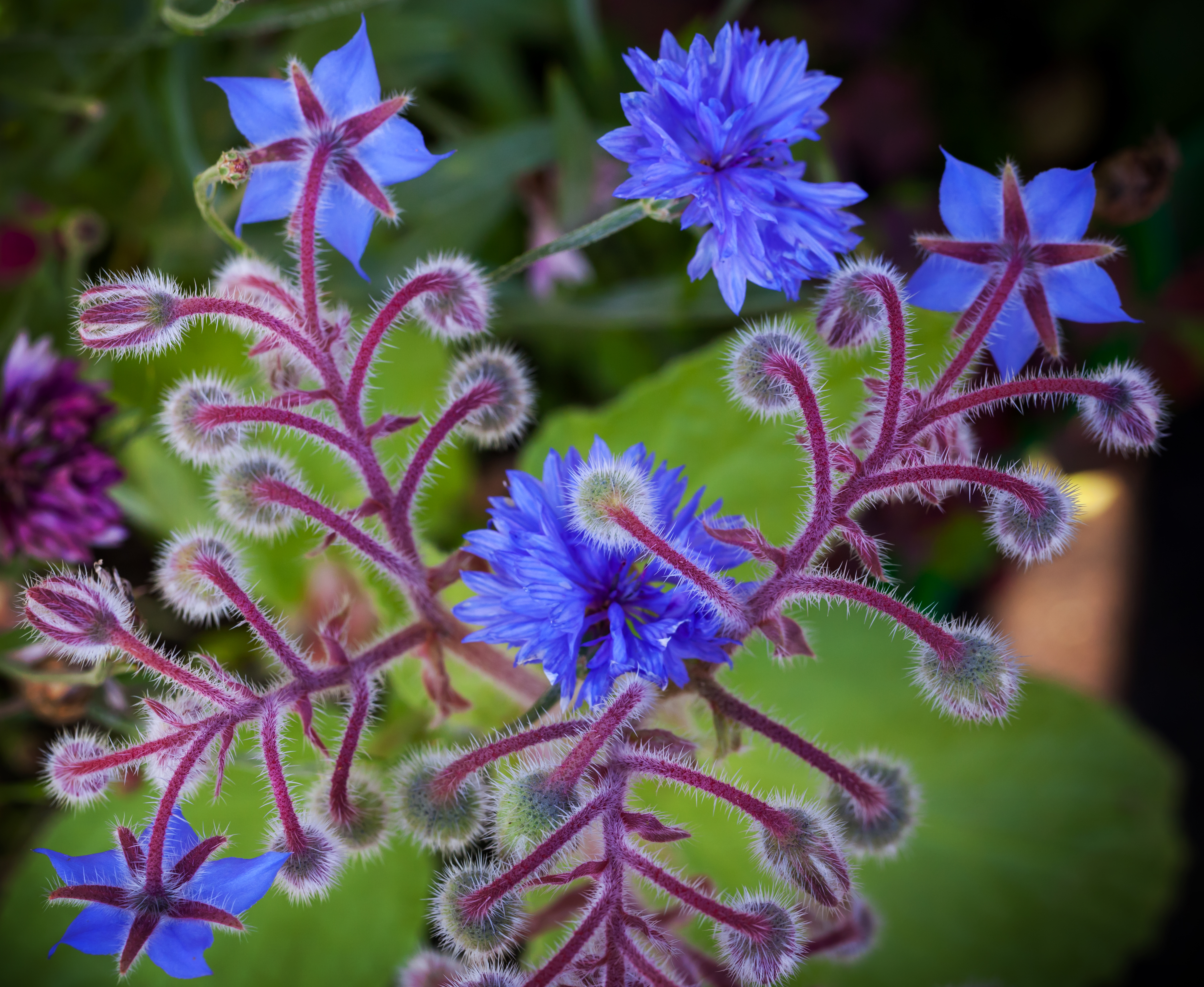 Incredible purple fuzzy buds and bloomed flowers of the borage plant