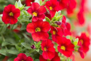 Petunia (Calibrachoa)
