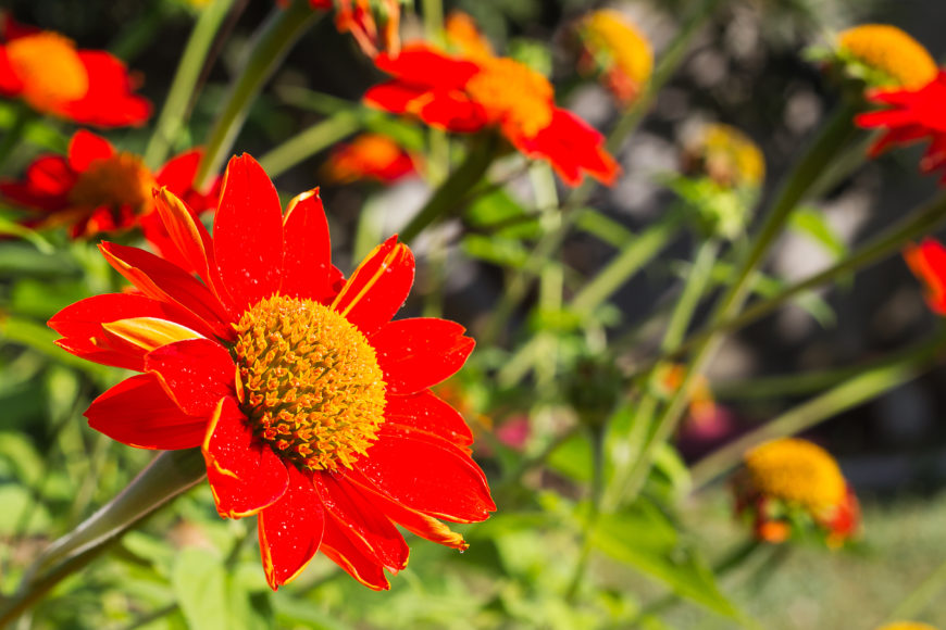 20 Mexican Sunflower (Tithonus rotundifolia)
