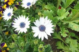 Cape daisy (Dimorphotheca)