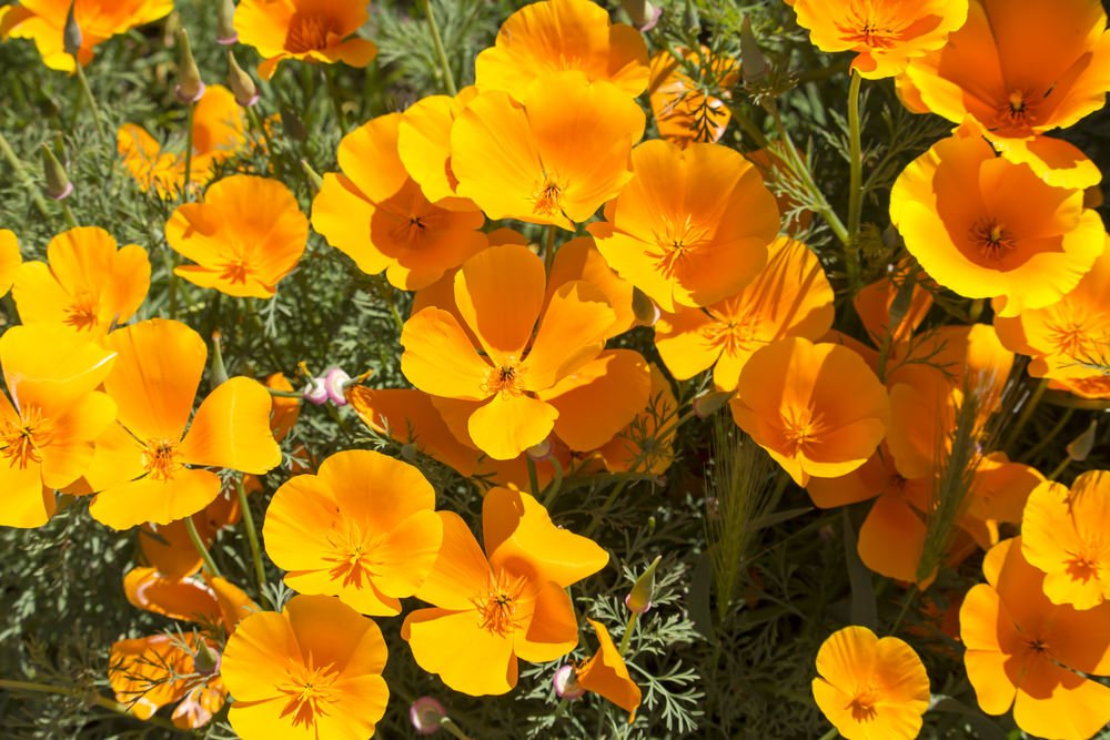 23-california-poppy_eschscholzia californica