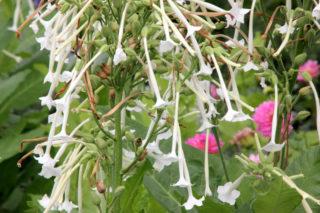 Tobacco plant (Nicotiana Sylvestris)