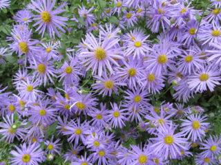 Blue Marguerite (Felicea amelloides)