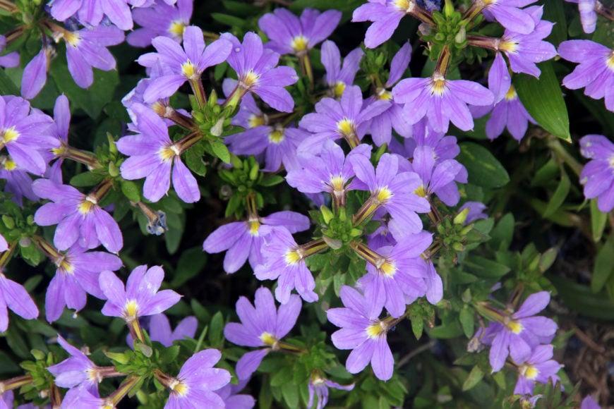25Fan flower _ annual