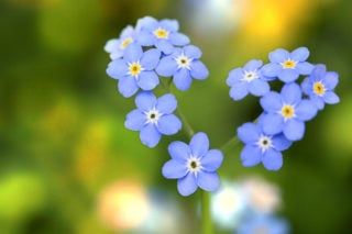 Forget me not (Myosotis Sylvatica)