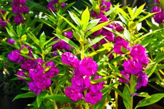 Garden balsam (Impatiens balsamina)