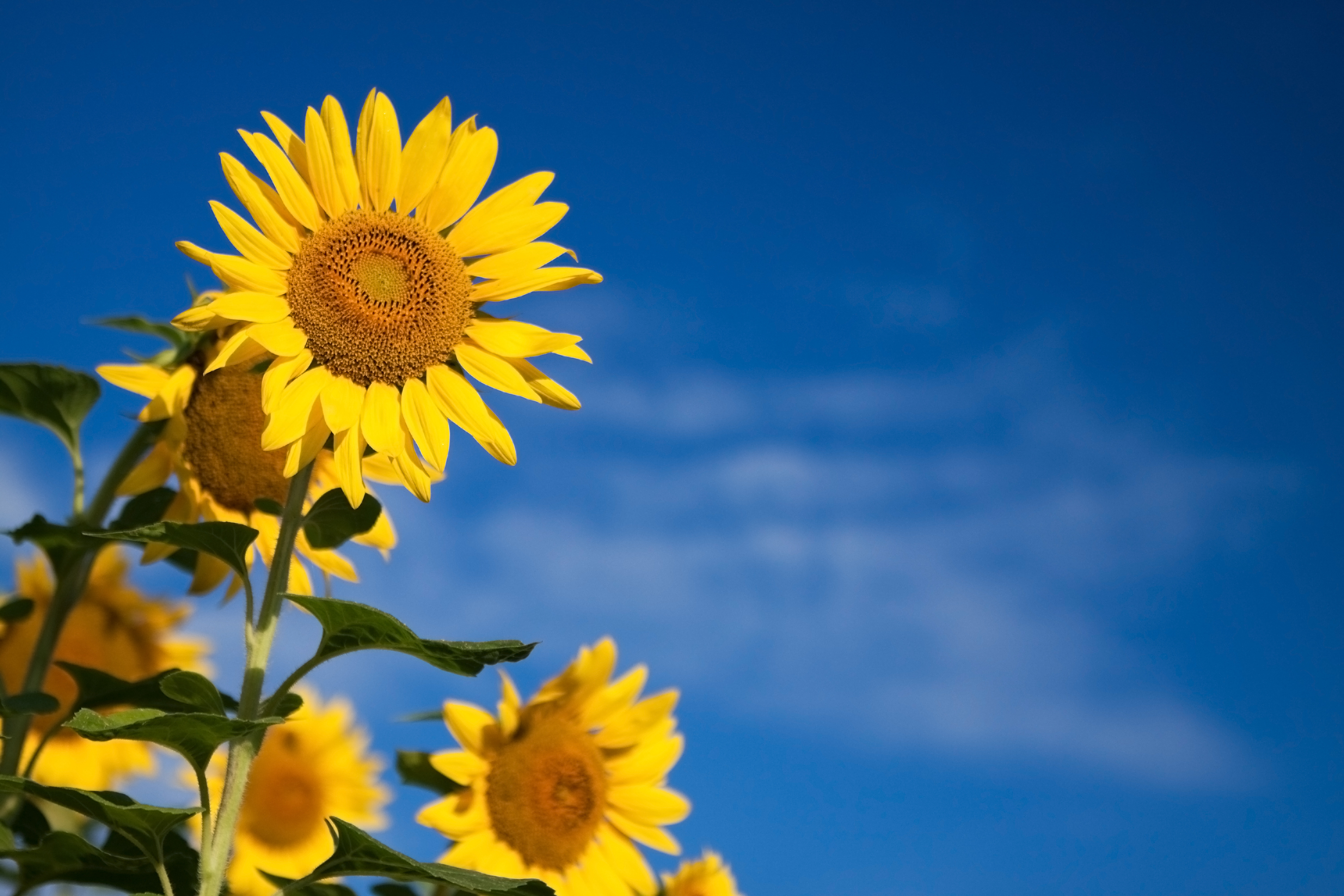 3 Sunflower (Helianthus Annuus)