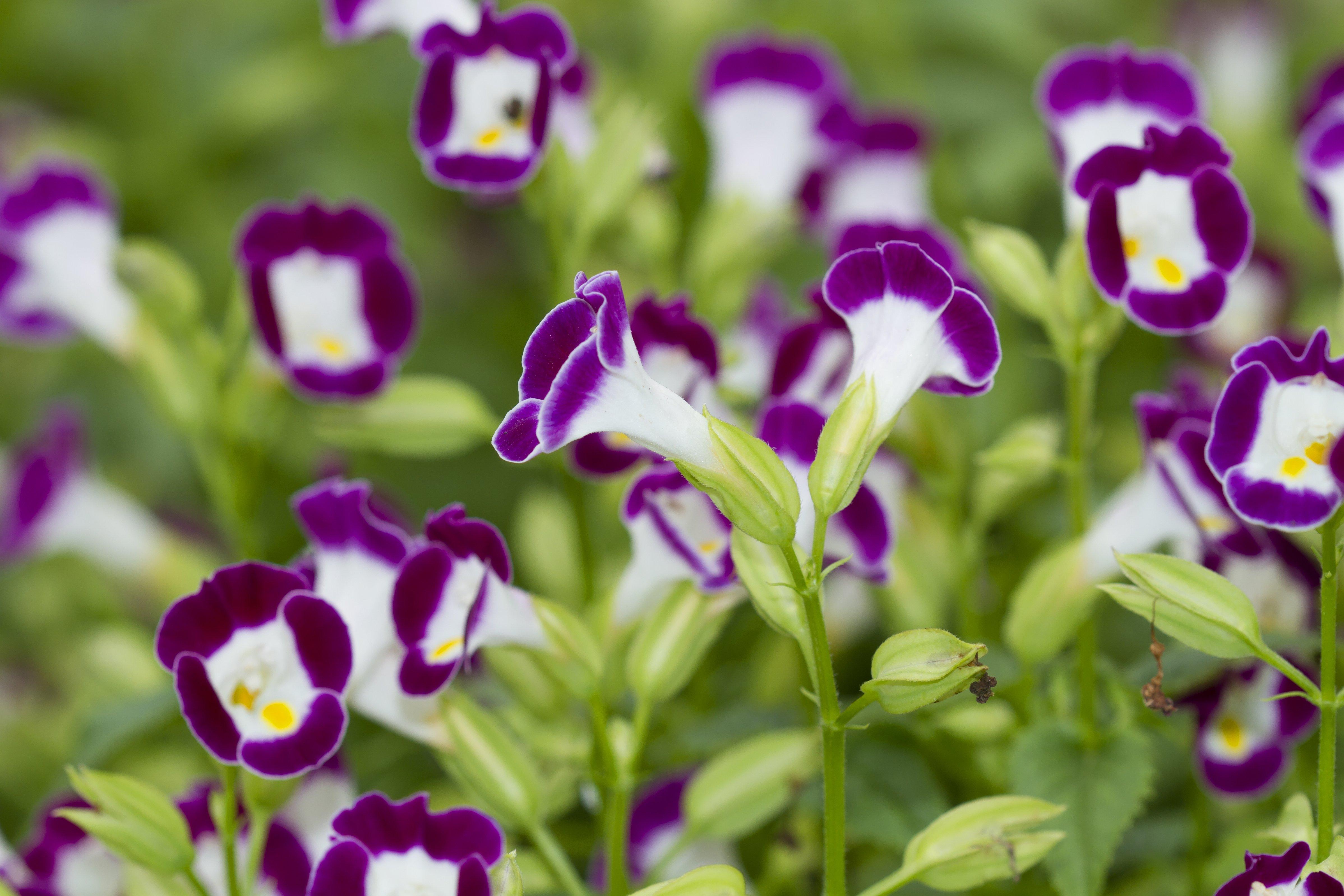 Wishbone flower (Torenia Fournieri)