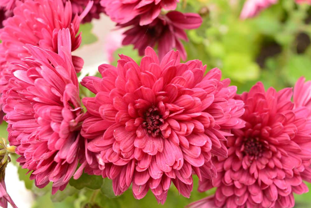 4-Chrysanthemum