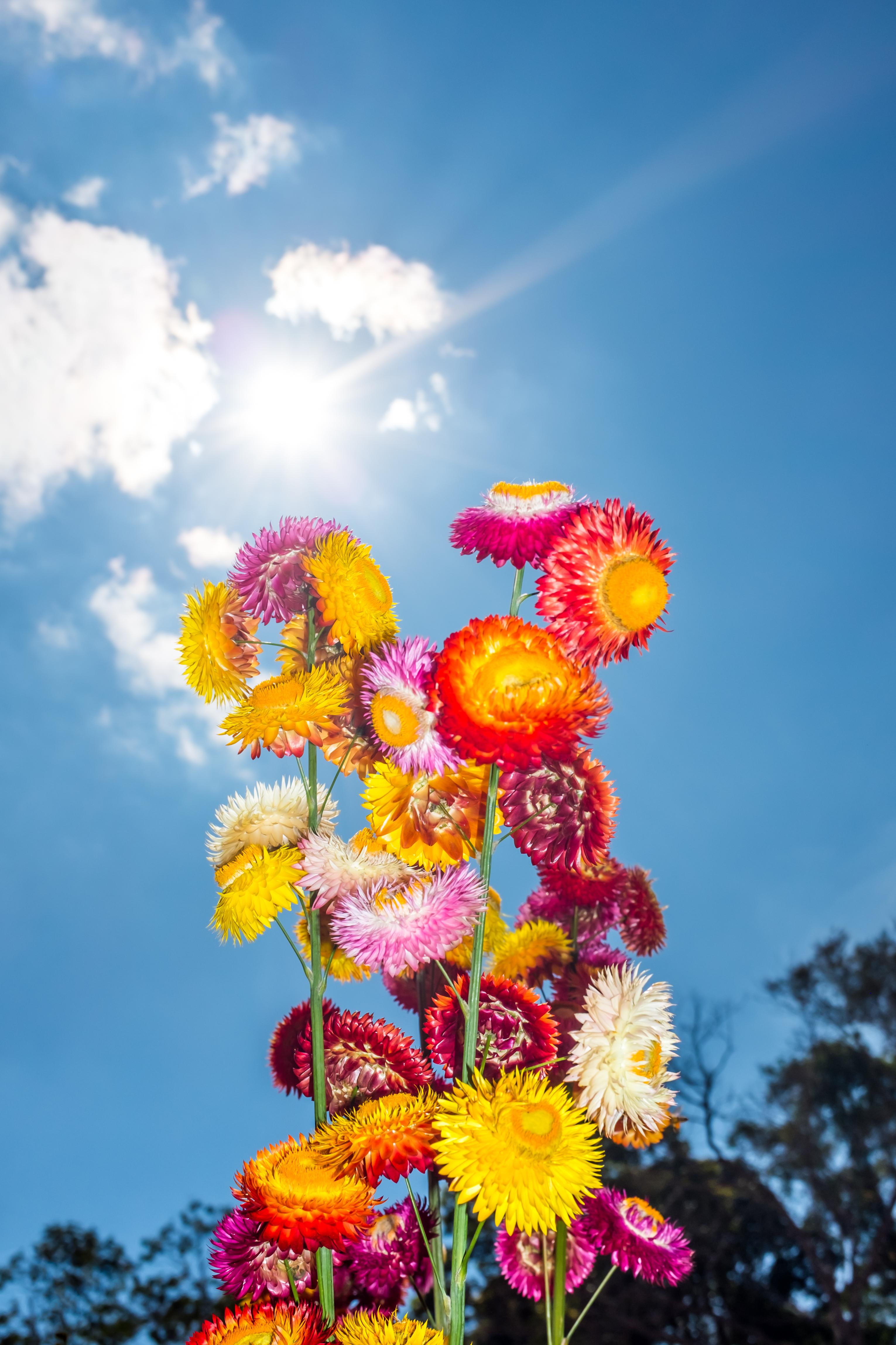 4 Everlasting Flower (Helichrysum Bracteatum)