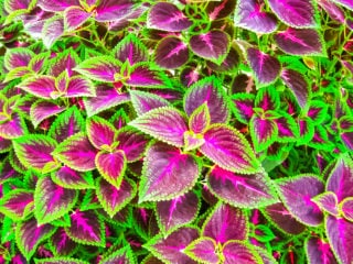 Flame nettle (Solenostemon or Coleus)