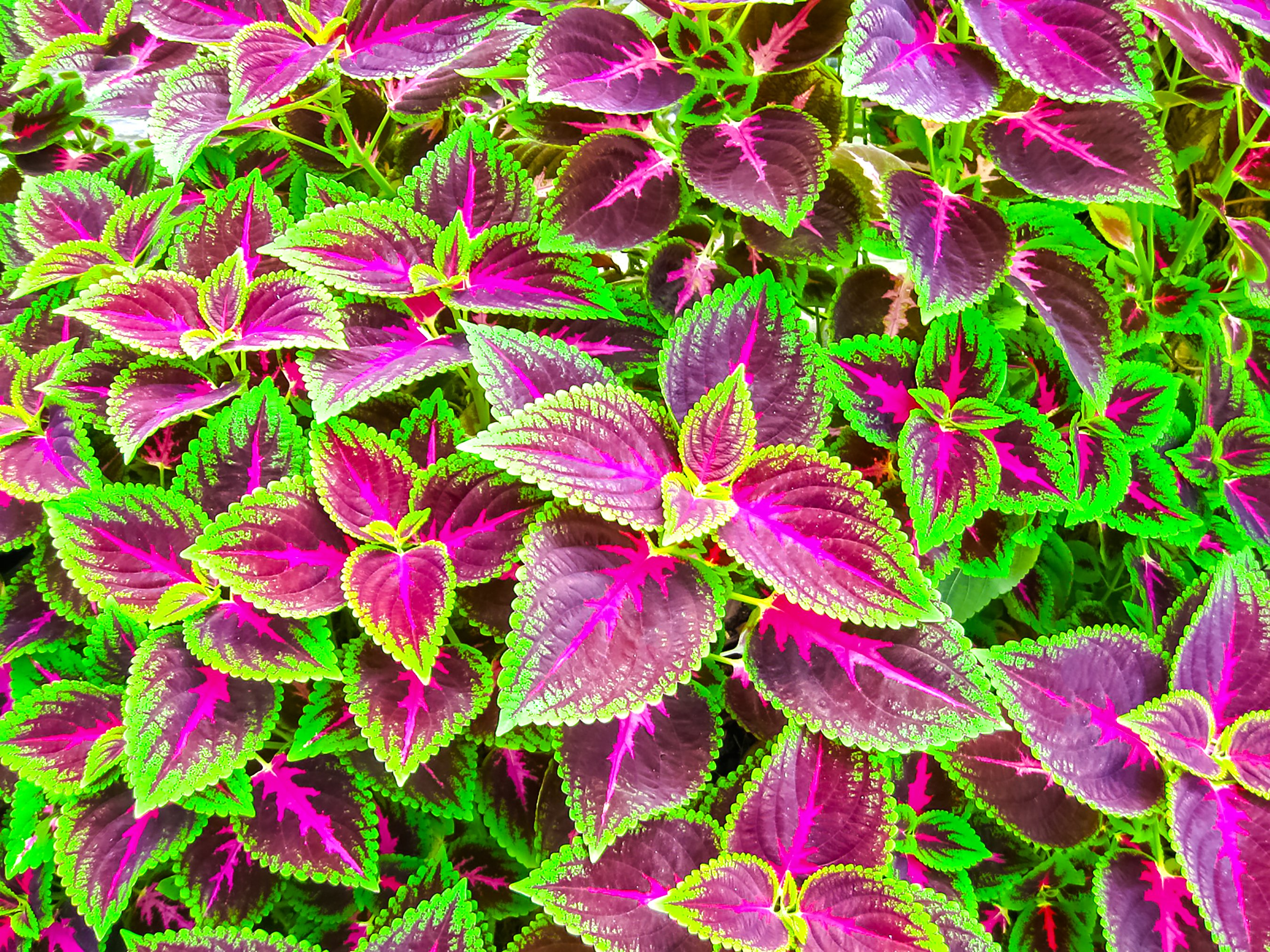 4flame nettle_ annual