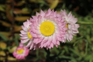 Paper Daisy (Helipterum roseum)