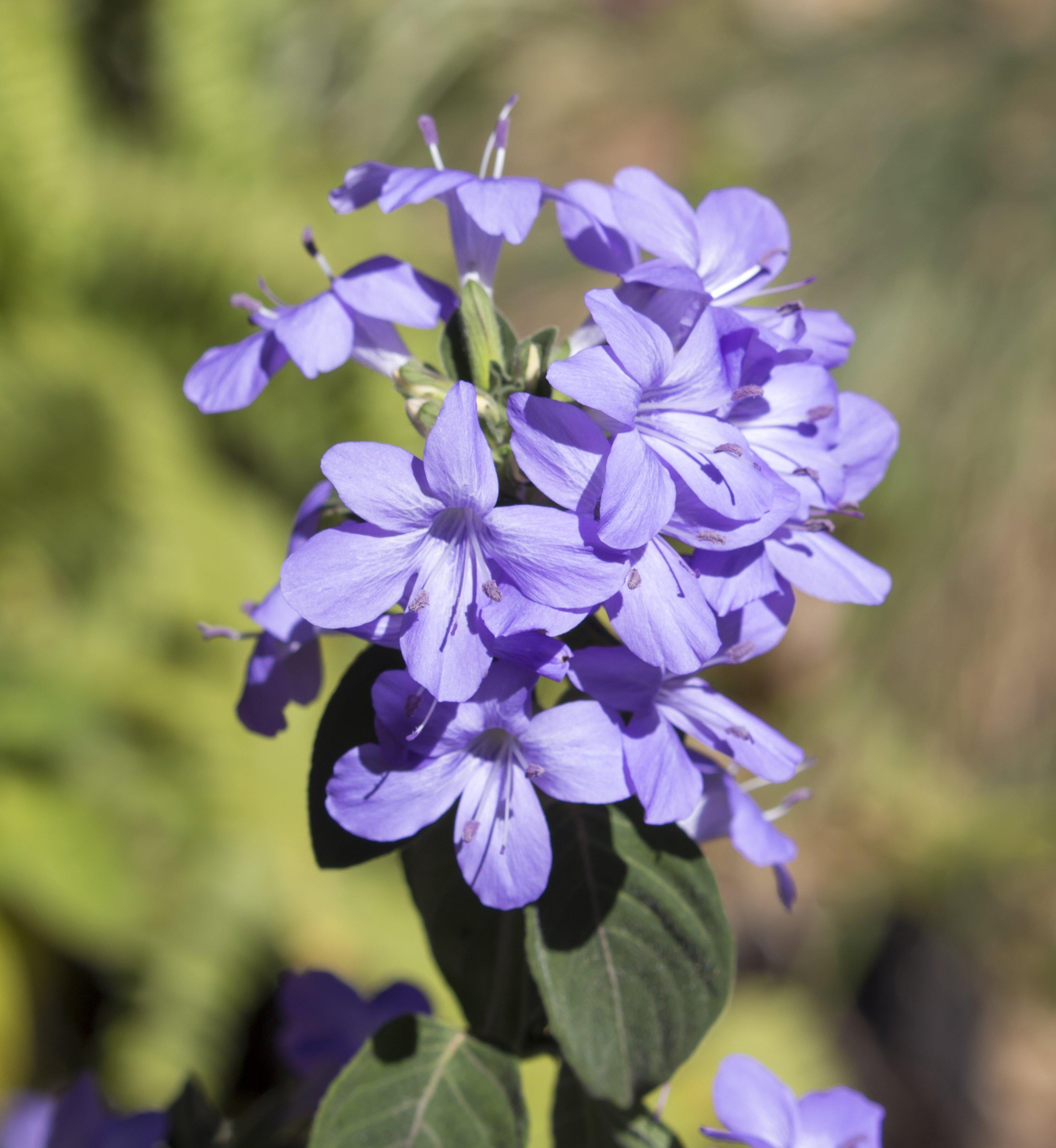 5Bush violet _ annual