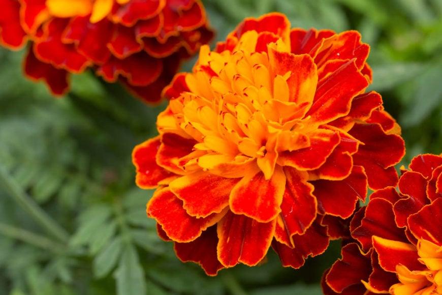7-marigold_tagetes