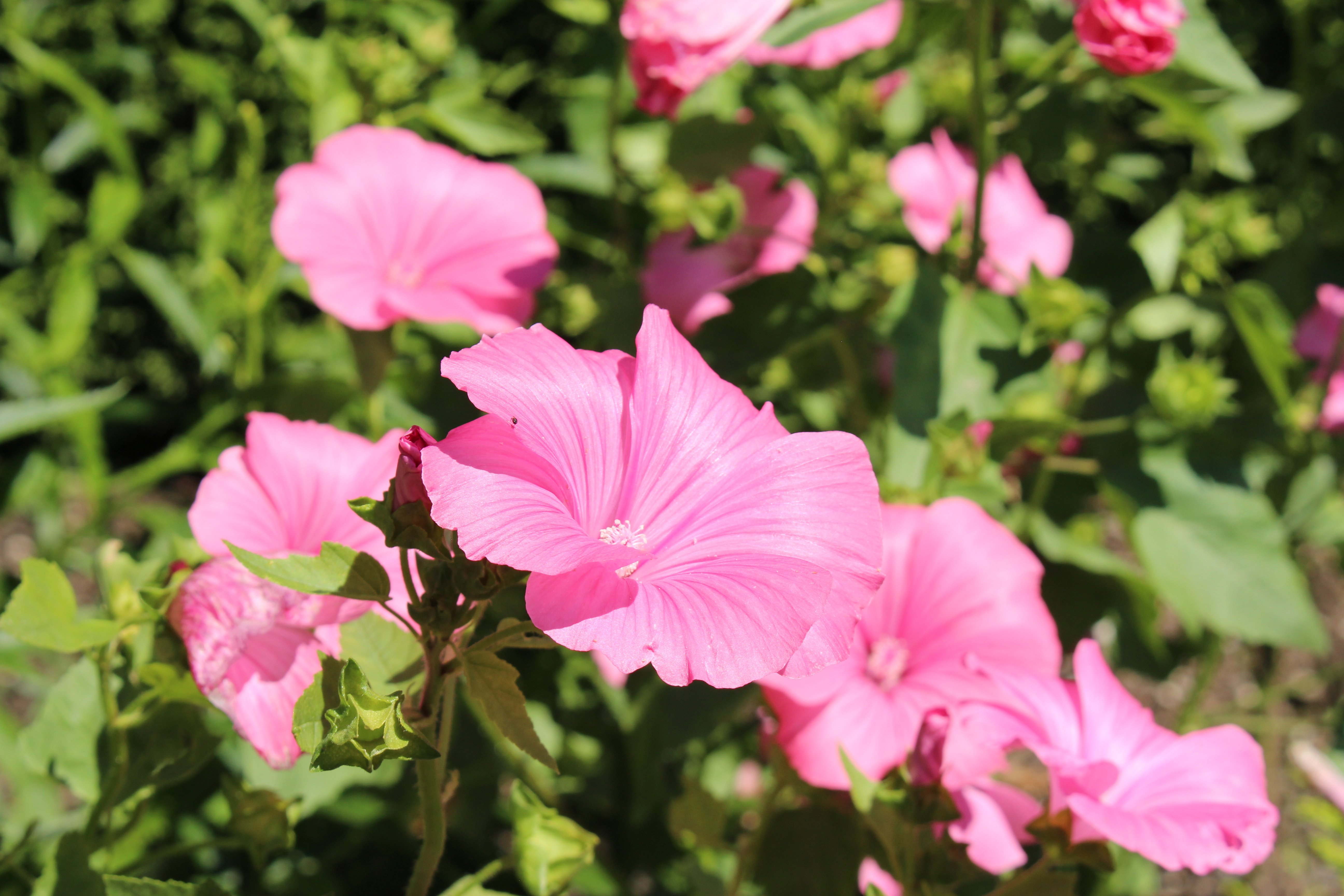 8 Annual mallow (Lavatera trimestris)