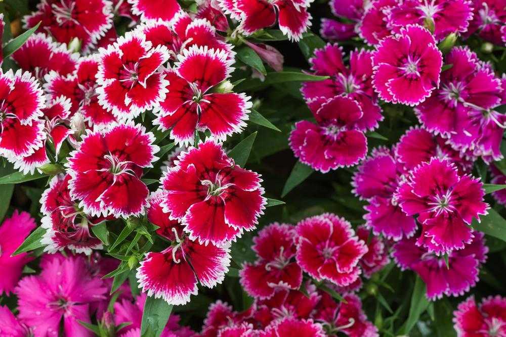 9-Dianthus
