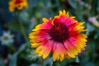 Blanket flower (Gaillardia pulchella)