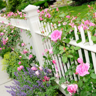 Garden Fence with Pink Rose