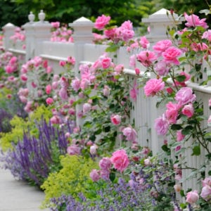 White Fence with Roses