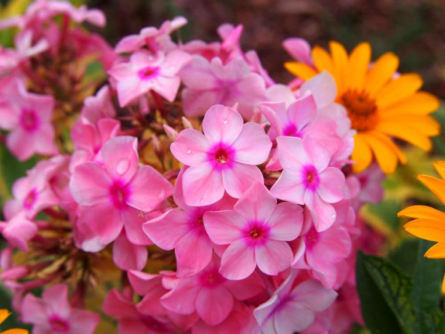 Garden-Phlox_Phlox-Paniculata