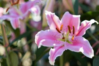 Orienpet Lily (Lilium Silk Road)