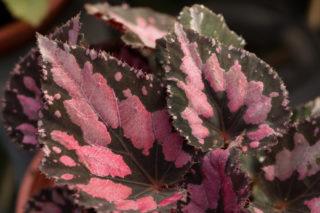 Rex Begonia (Begonia rex cultorum)