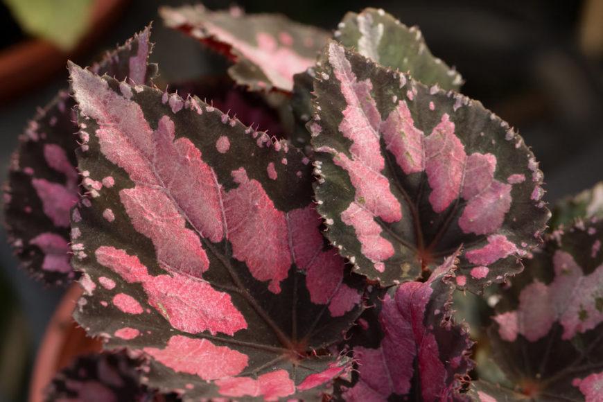 Rex-Begonia_Begonia-rex-cultorum