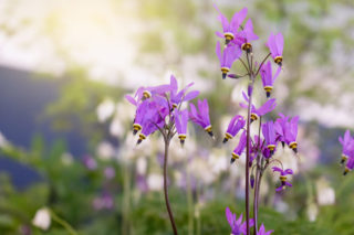 Shooting Star Flower (Dodecatheon meadia)