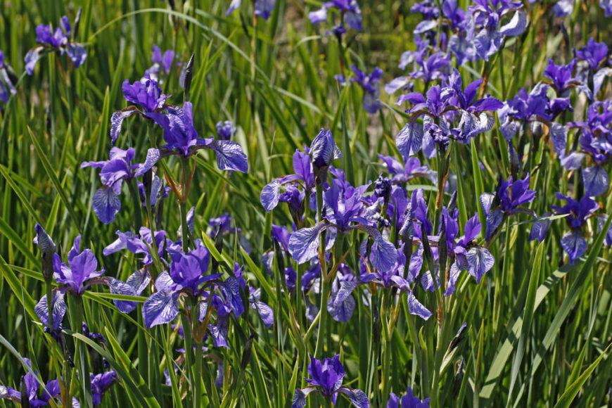 Siberian-Iris_Iris-Sibirica