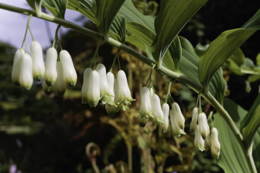 Solomon's-seal_Polygonatum-biflorum