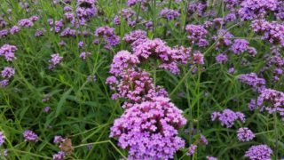 Verbana (Verbena officinalis)