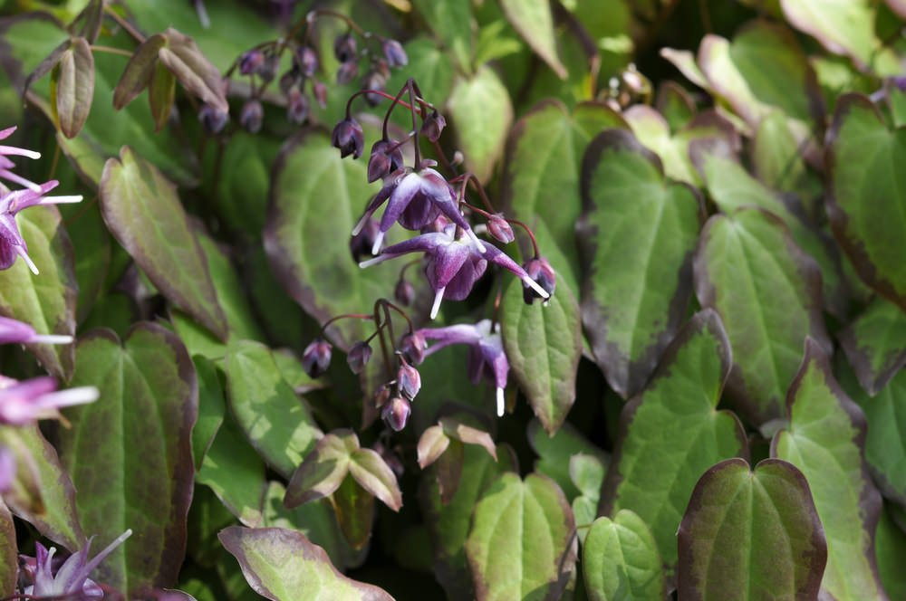 Bishop's hat (Epimedium grandiflorum)