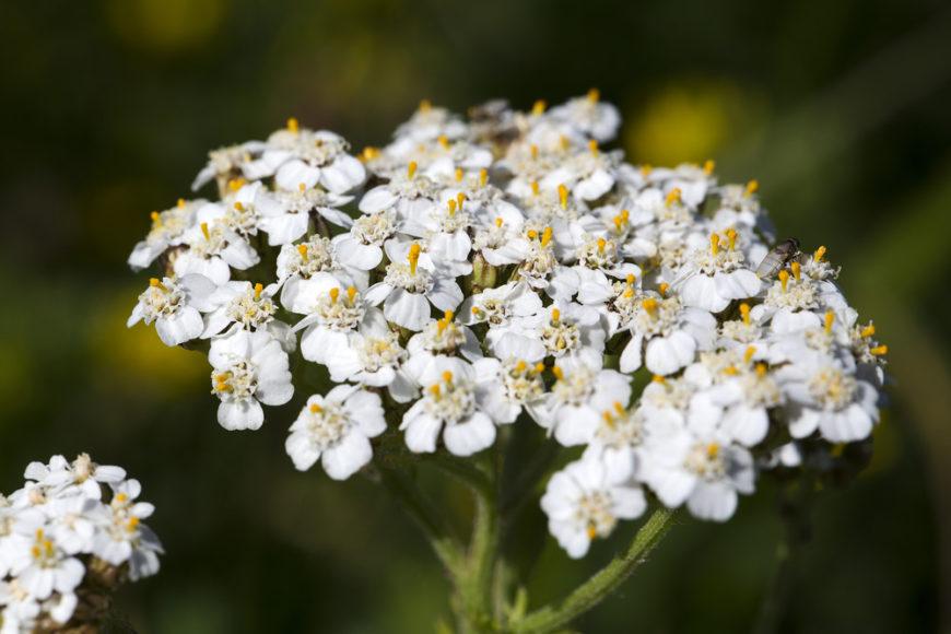 yarrow_Achillea millefolium 1