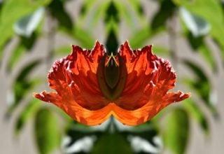 African tuliptree (Spathodea campanulata)