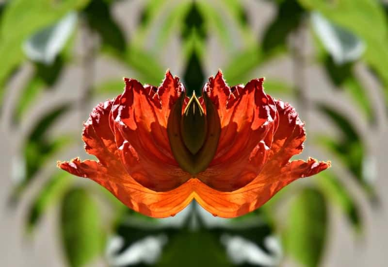 African tuliptree_Spathodea campanulata