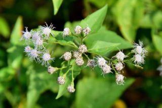 American boneset (Eupatorium perfoliatum)