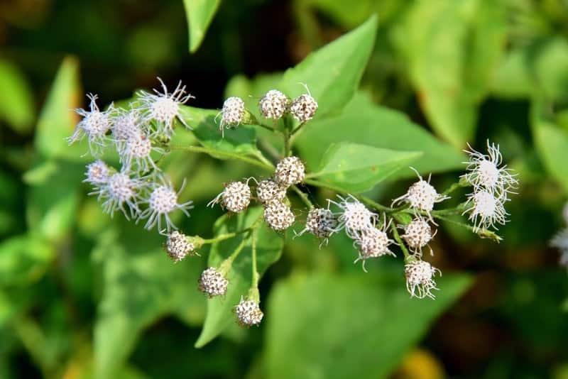 American boneset_Eupatorium perfoliatum