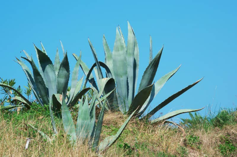 American century plant_Agave americana
